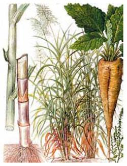 Сахарный тростник (слева) и сахарная свёкла (справа)